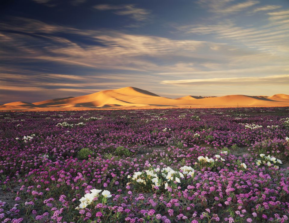 Sand Verbena Wildflowers Abronia villosa and Dune Evening Primrose oenothera deltoides flowers on Dumont Dunes in Mojave Desert, California, USA