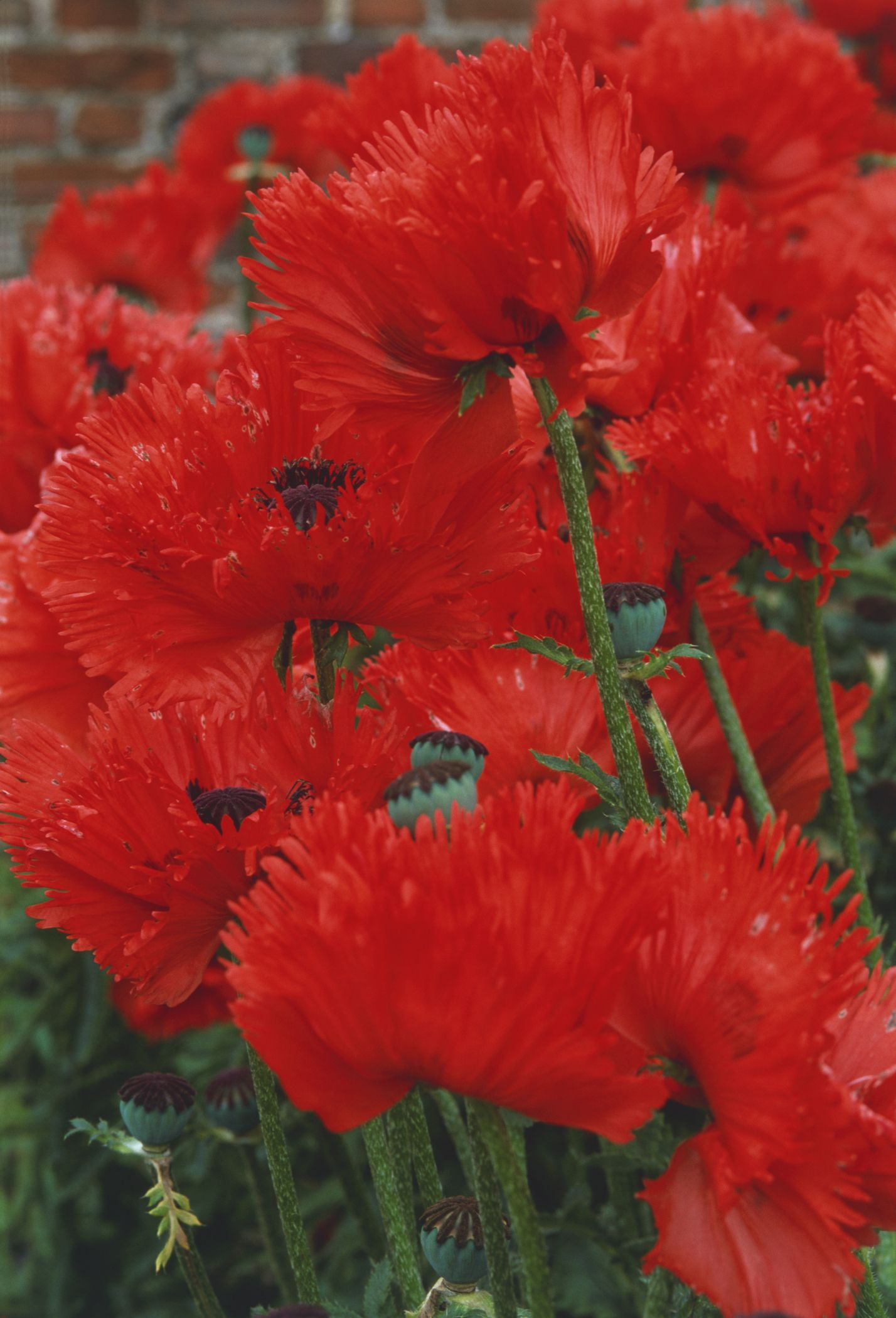 14 beautiful garden poppies dhlflorist Images