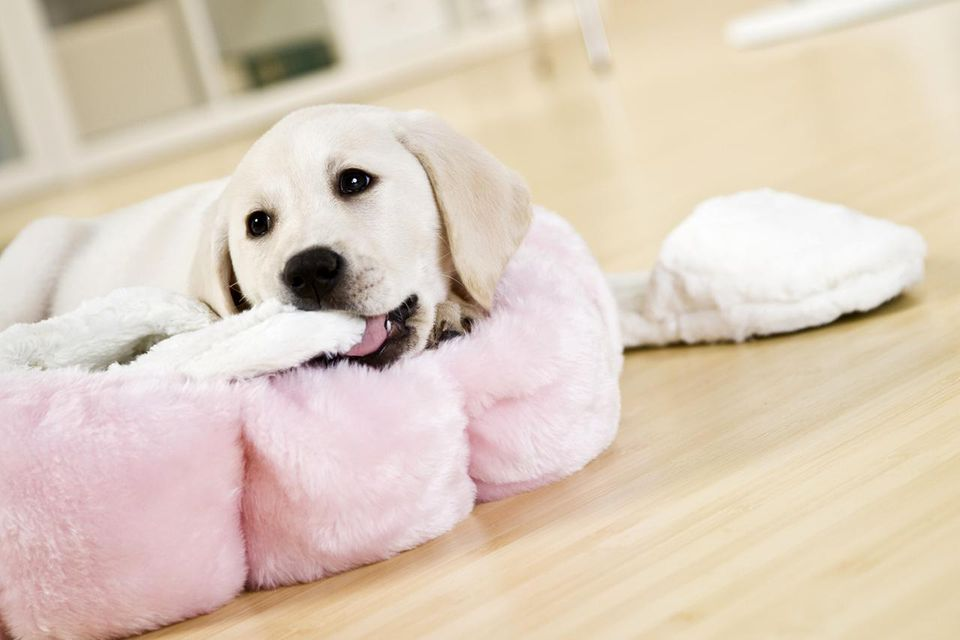 Puppy chewing slippers in dog bed