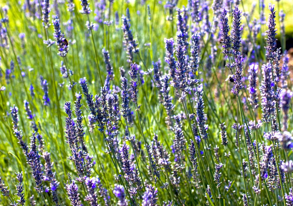 English lavender (Lavandula angustifolia) blooming and massed together.