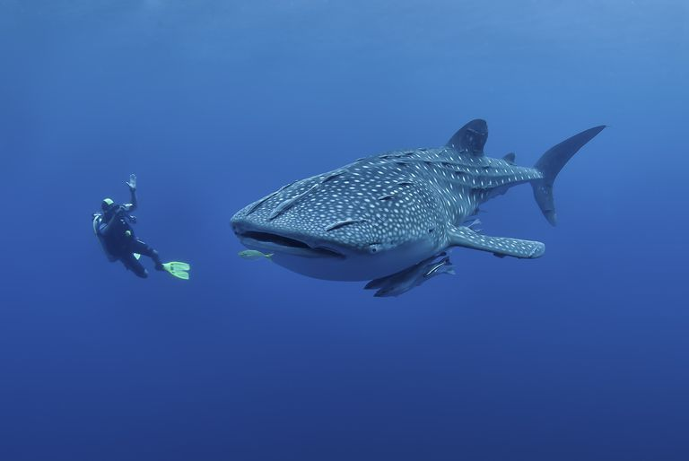 Diver photographing a Whaleshark