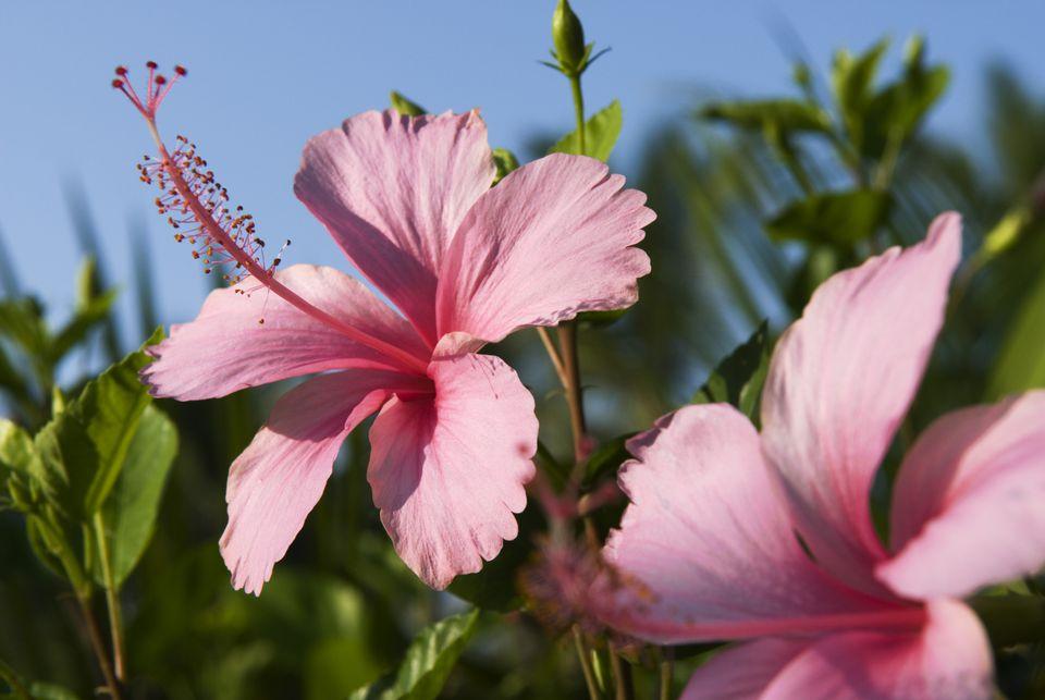 Hibiscus Blossoms