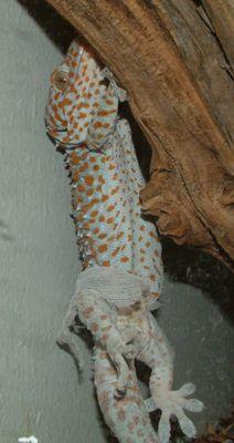 tokay gecko shedding