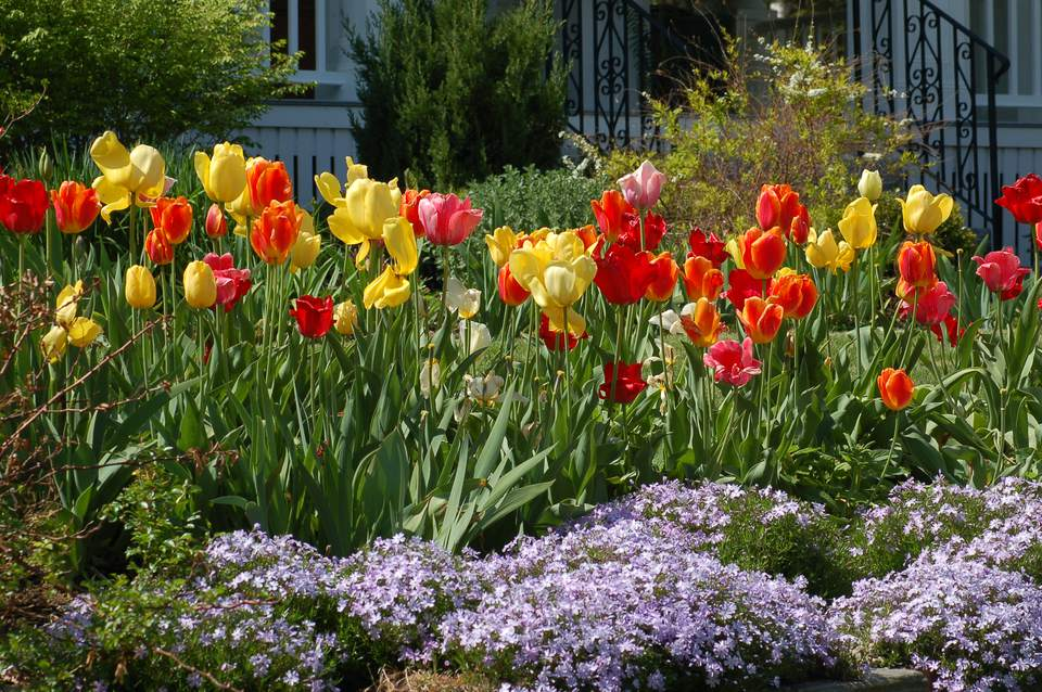 A flowerbed full of tulips and phlox