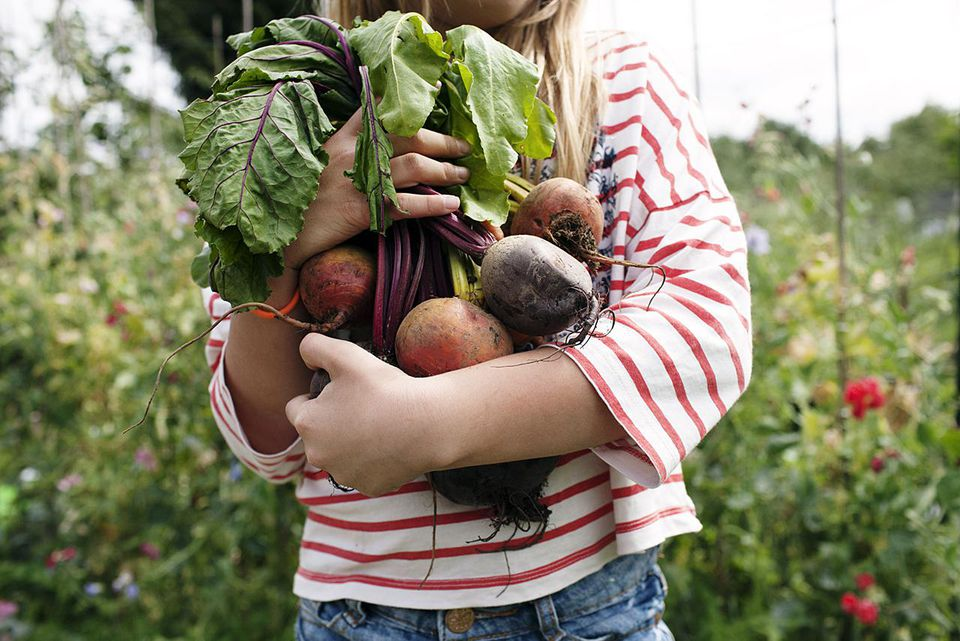 Girl holding bunch of freshly picked beetroot on her allotment.