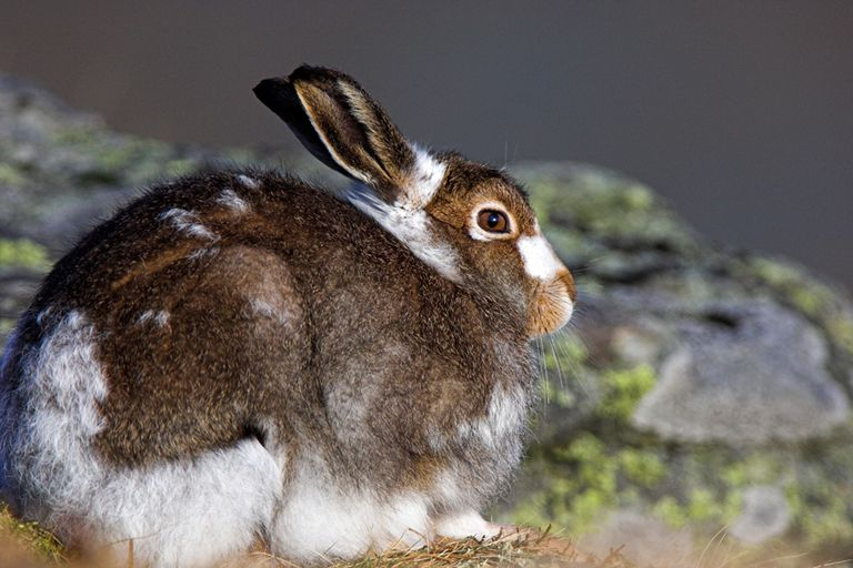 This Arctic hare lives on the Cairngorm Plateau. It is molting its summer coat to make way for its white winter coat.