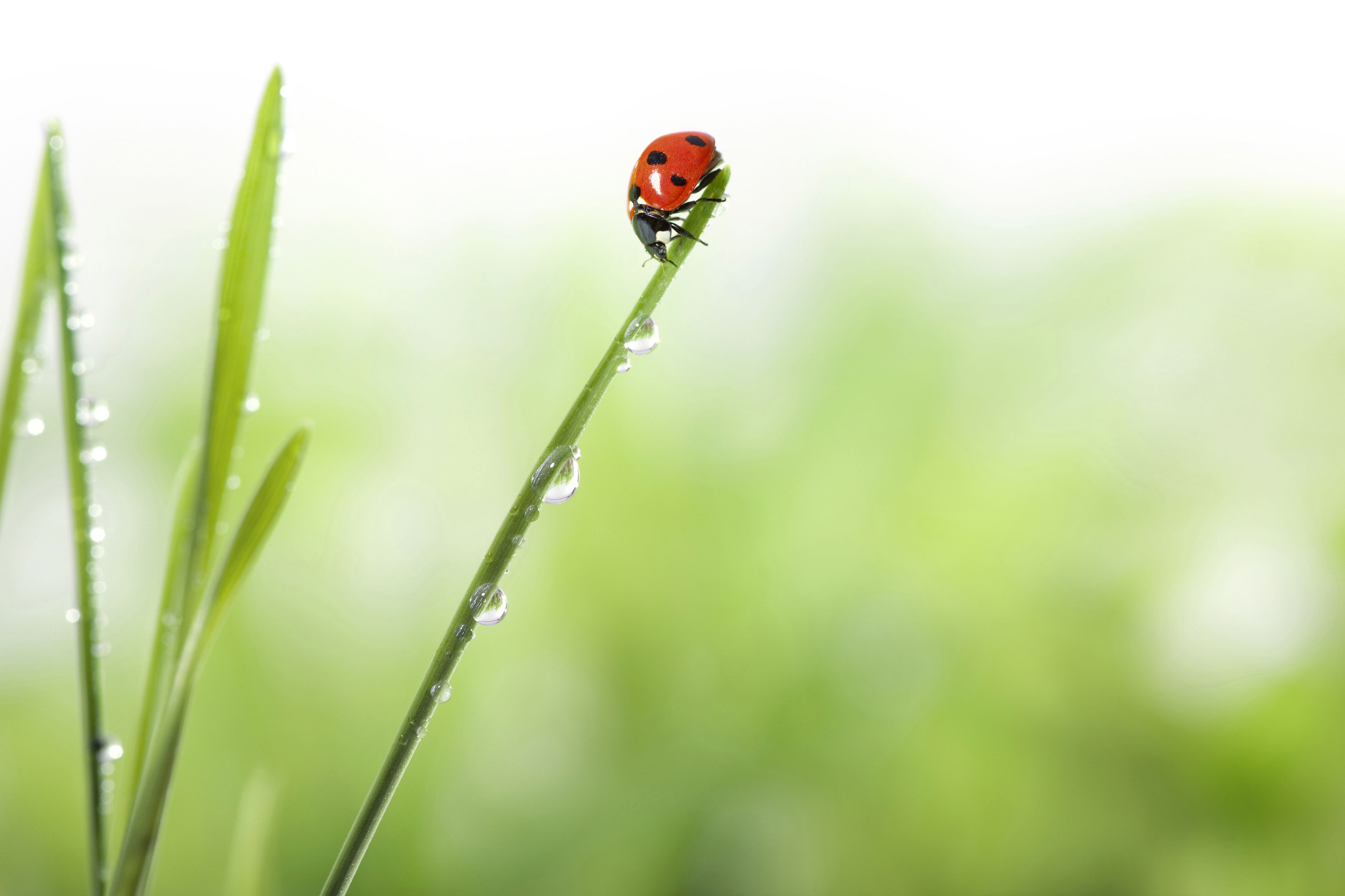 should i purchase ladybugs to release in my garden