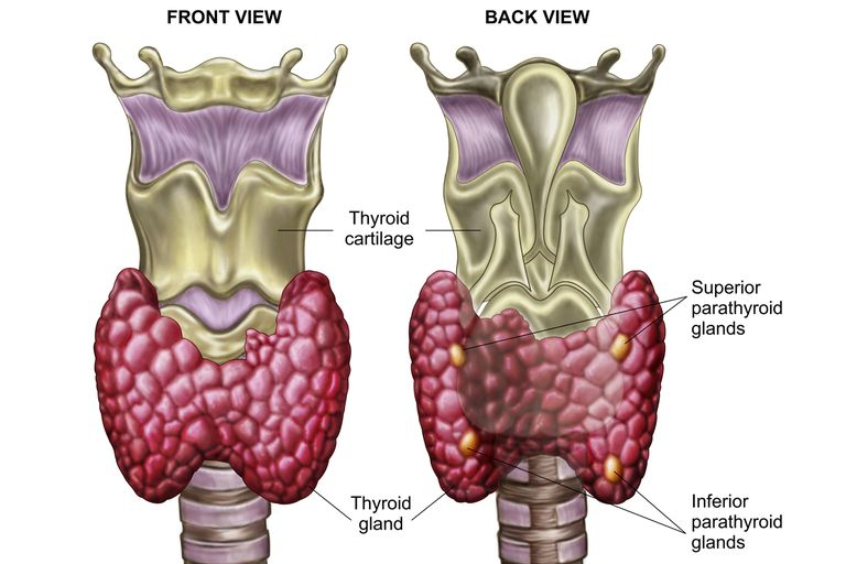 The location of the parathyroid glands (right).