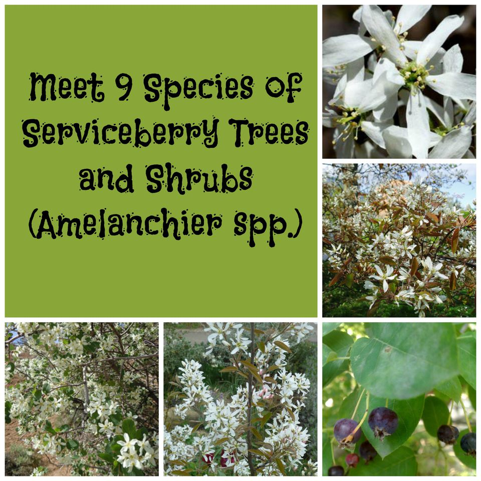 White flowers can be found on serviceberry trees and shrubs