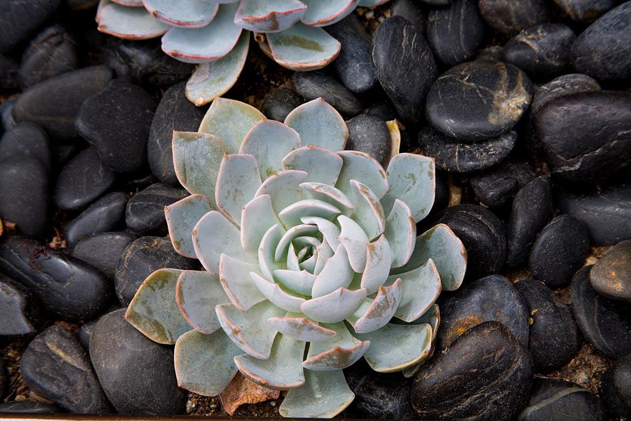 Growing Hen And Chicks Succulents