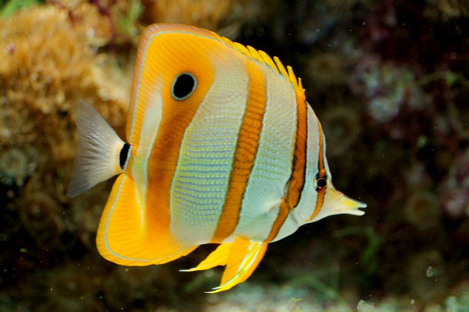 chelmon rostratus butterflyfish
