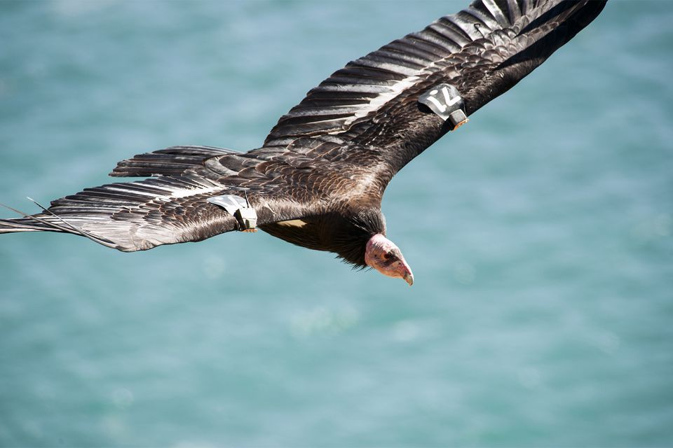 California Condor in Big Sur