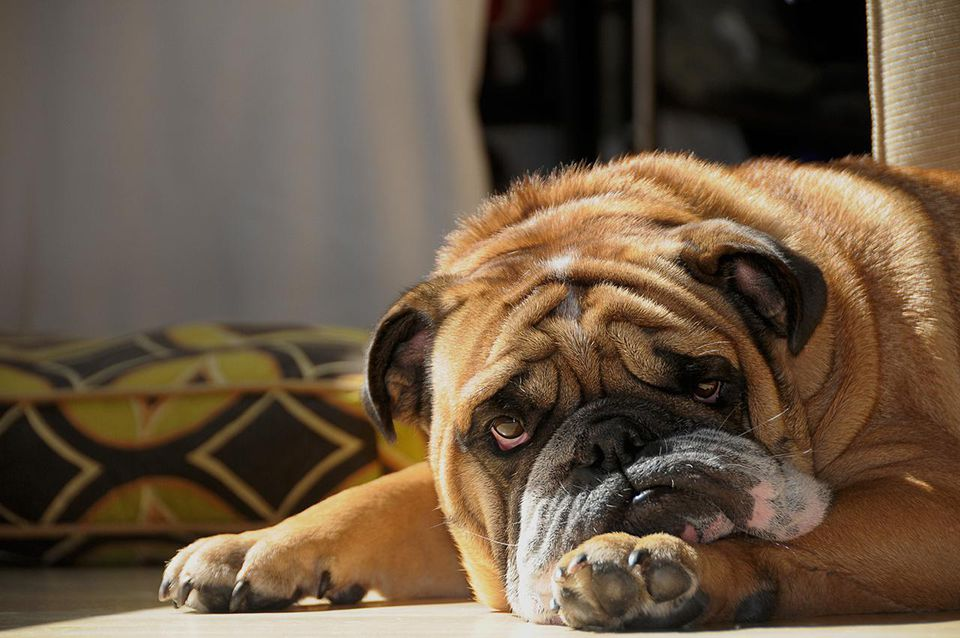 Droopy jowled English Bulldog with bloodshoot eyes rests his head on the floor.