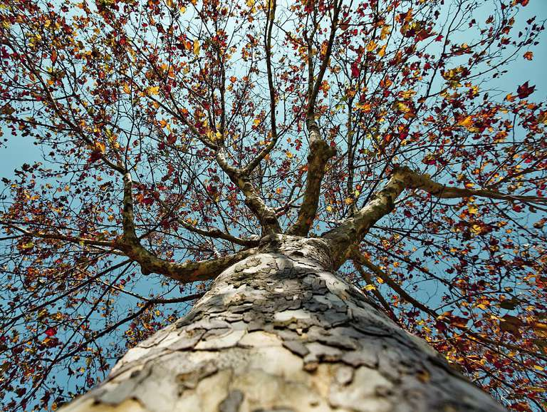 Upwards view of a sycamore tree in autumn