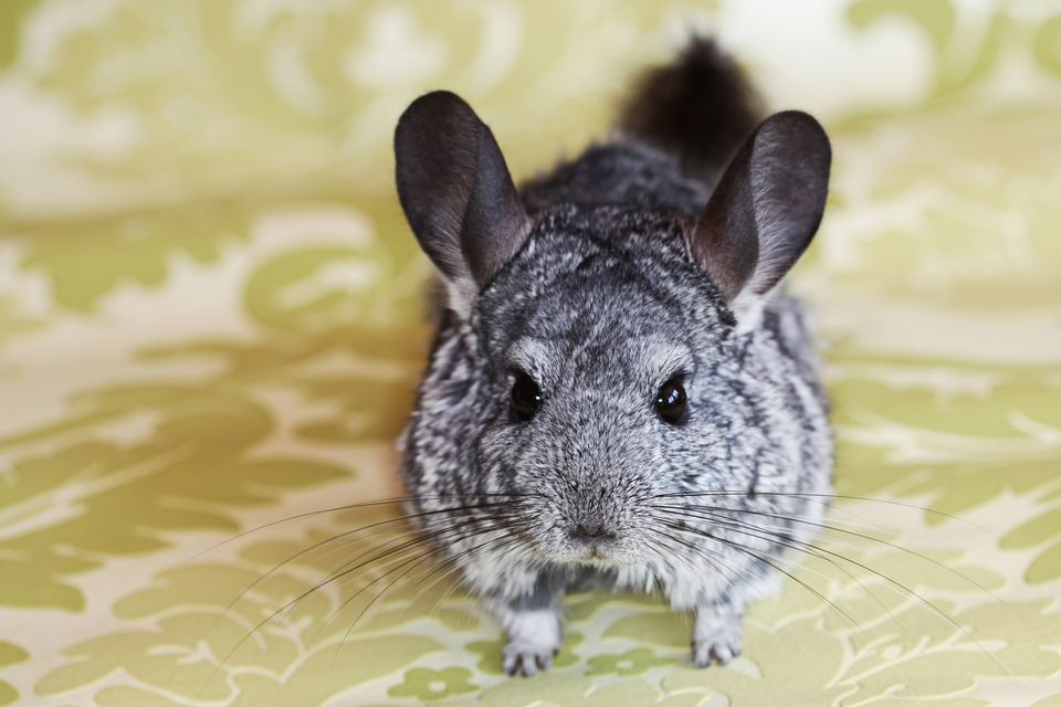 A cuddly chinchilla