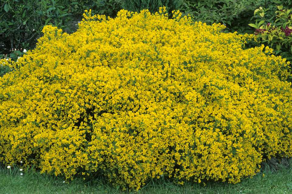 10 best shrubs with yellow flowers genista lydia shrub in bloom with yellow flowers mightylinksfo