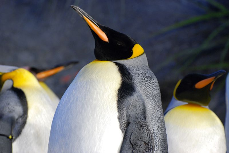 zoo-king-penguins.jpg