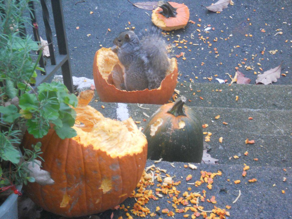 Squirrels will feed on Jack-O-Lanterns
