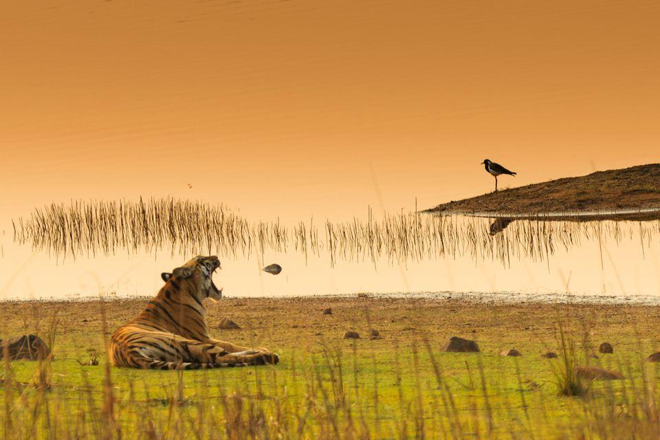 Tiger at Tadoba National Park