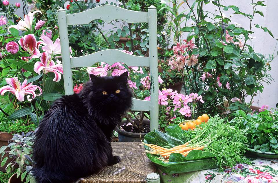 black cat sitting on a chair outdoors surrounded by lilium pelargonium,vegetables in dish similar to image in the book al fresco on page 100