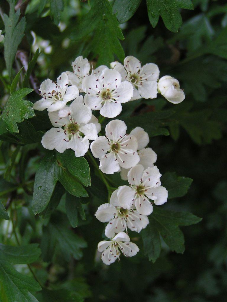 Espino blanco, planta medicinal para el corazón