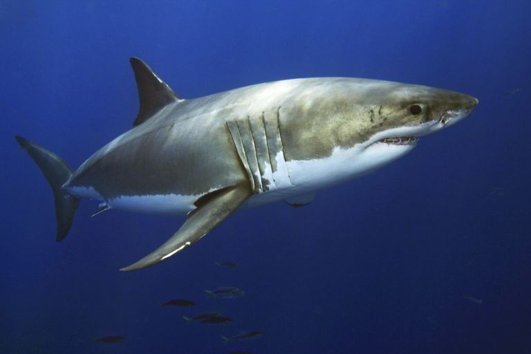 White Shark / Dave Fleetham/Design Pics/Perspectives/Getty Images