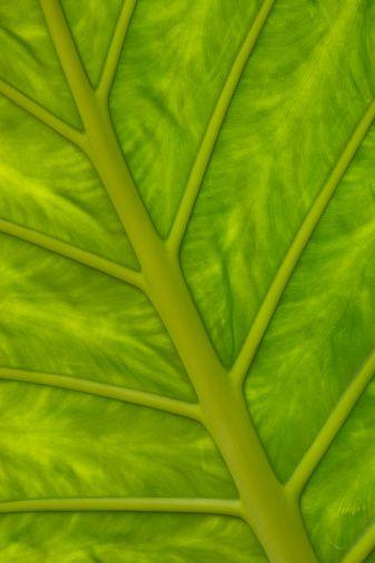 Tree Leaf Vein