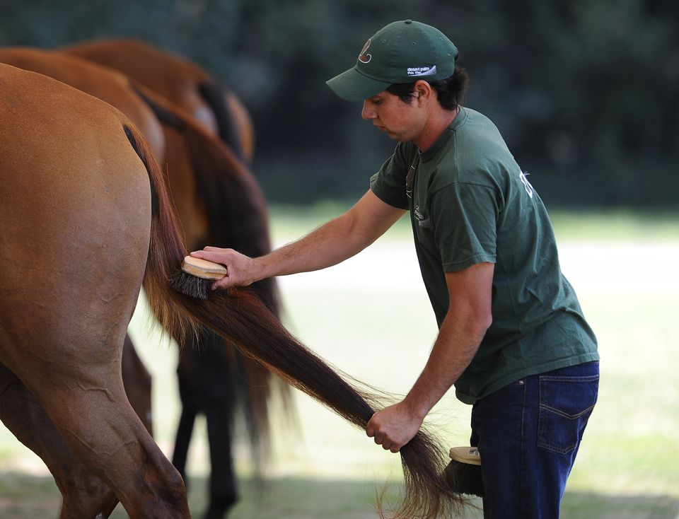 Man grooming horse's tail.