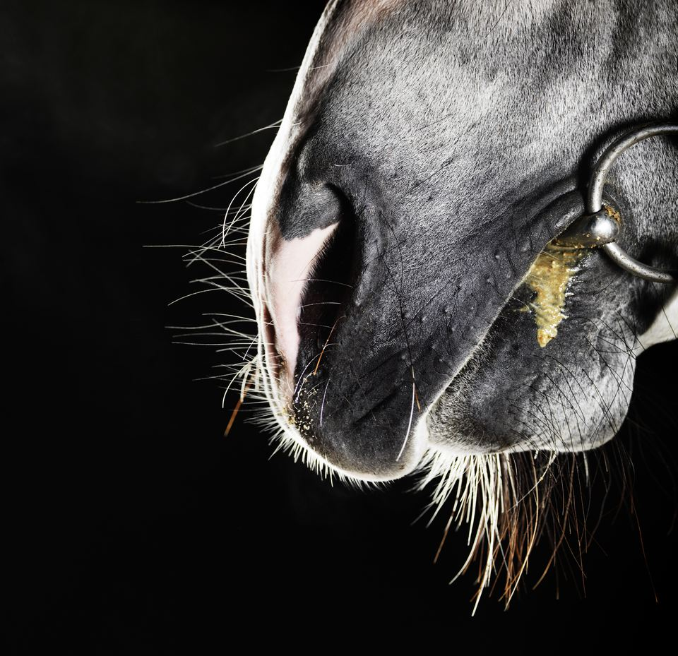 Horse nose and mouth with bit