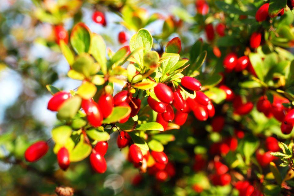 Branch Of Cornelian Cherries