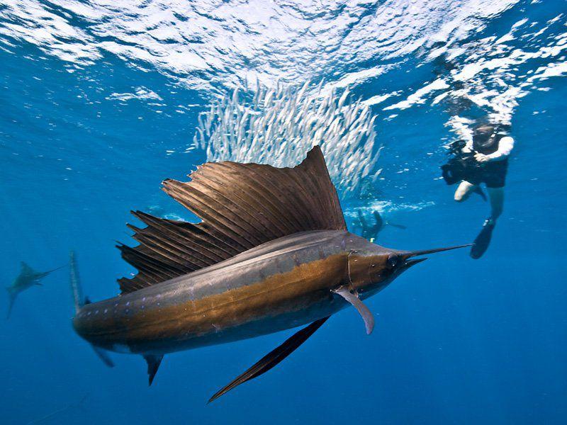 swimming-with-sailfish-isla-mujeres-cancun-riviera-maya-717N.jpg