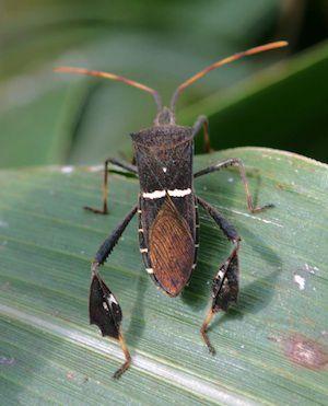 Eastern leaf-footed bug.