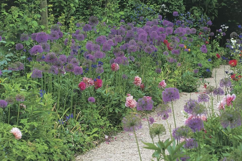Allium at Hidcote Manor Garden