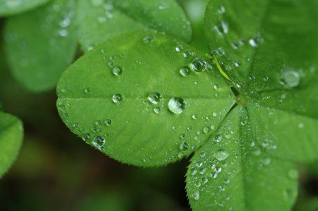 A picture of a four leaf clover
