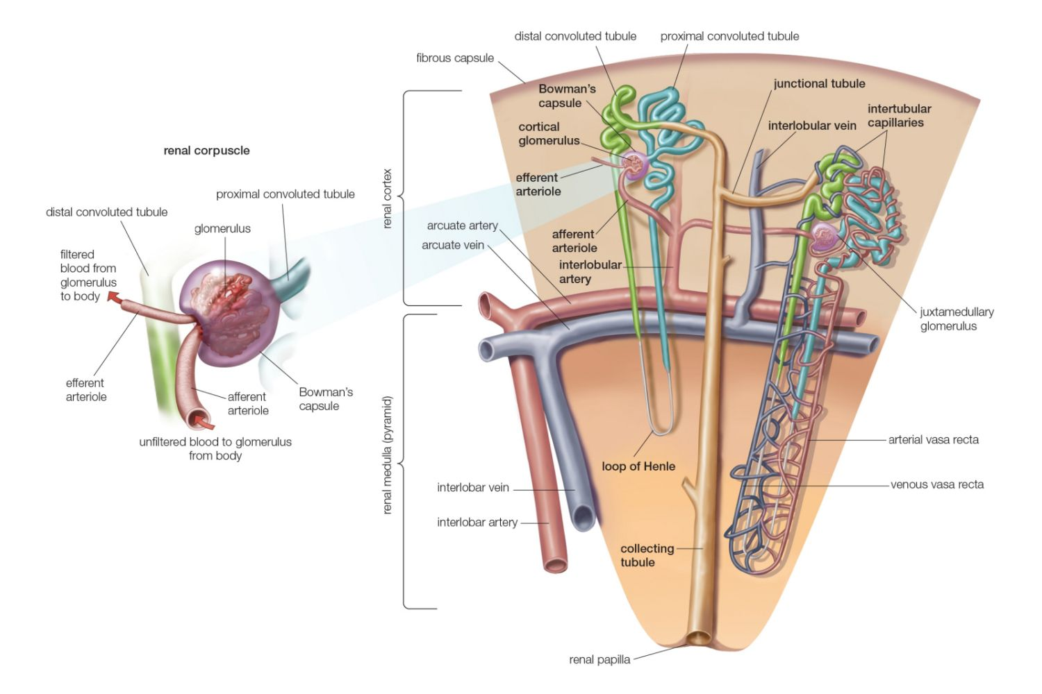 Kidney anatomy definition function pooptronica