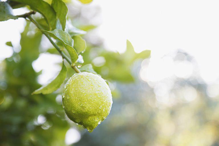 Lime on tree