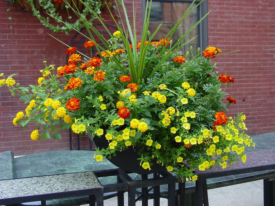 Marigolds as Container Plants
