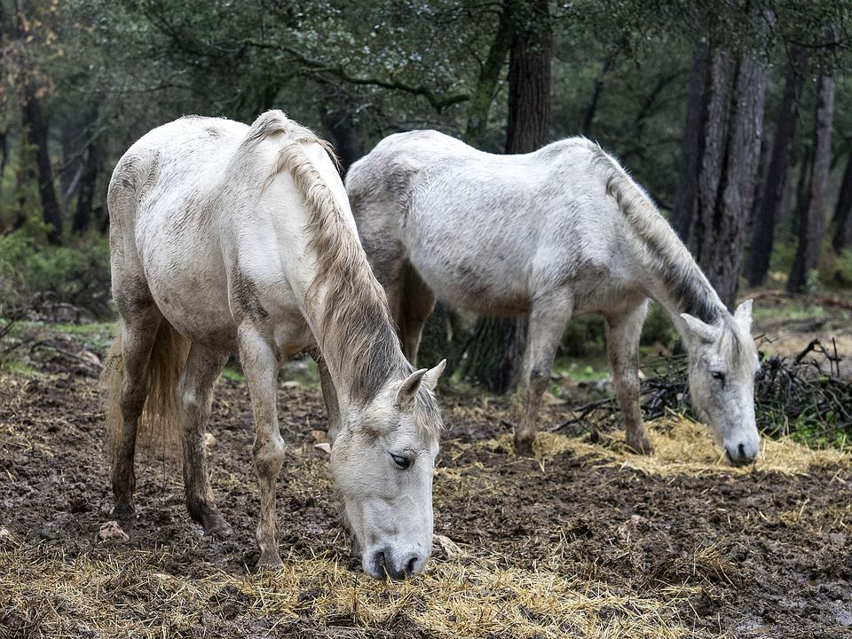 Two older horses with hollow backs.