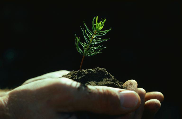 Hands holding an evergreen sapling