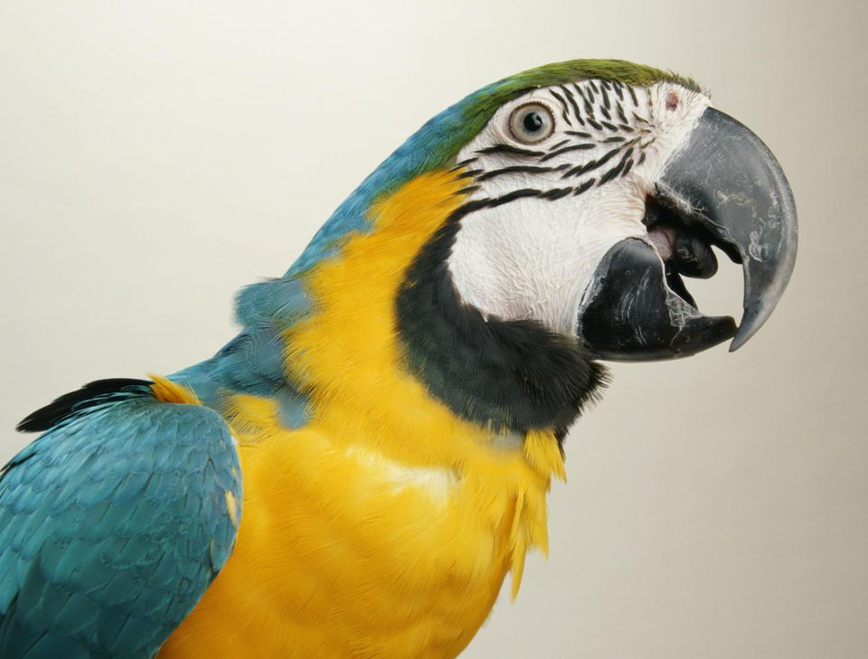 Blue and gold macaw (Ara araurana), close-up