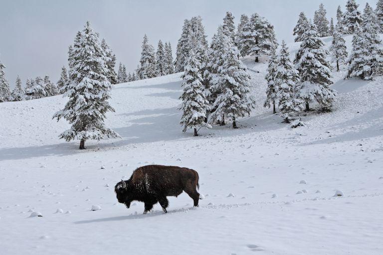 Bison makes lone trudge through snow