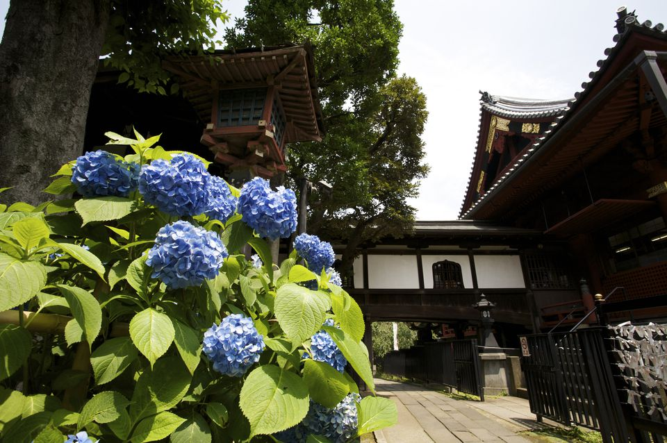 Ajisai (hydrangea) in full bloom in grounds of Kiyomizu Kannon Do in Ueno park, Taito. Tokyo, Kanto, Japan, North-East Asia, Asia Details Credit:
