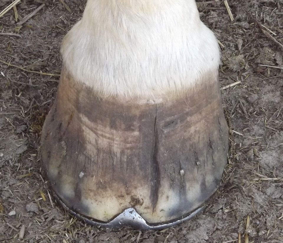 Shod hoof with crack.