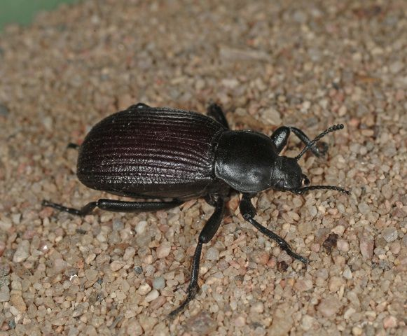 Ground beetles are beneficial predators that every gardener should learn to recognize.