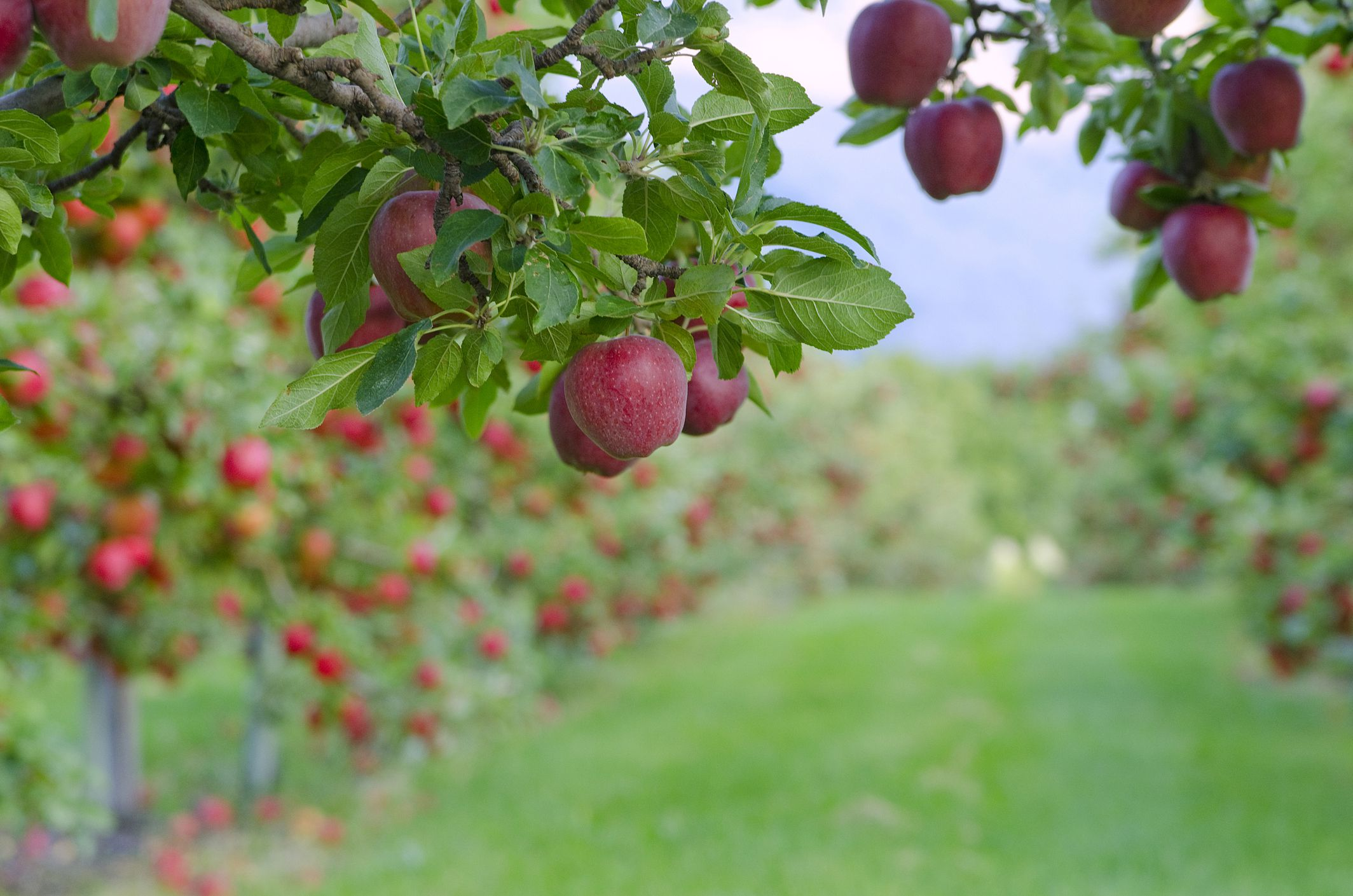 Varieties Of Apple Trees Climate Taste And Resistance