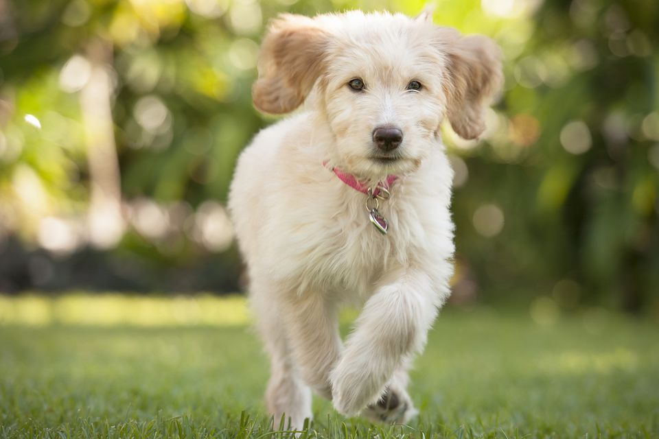 Training puppies to come when called