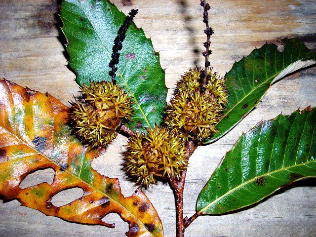 Chinkapin Nut in Fall