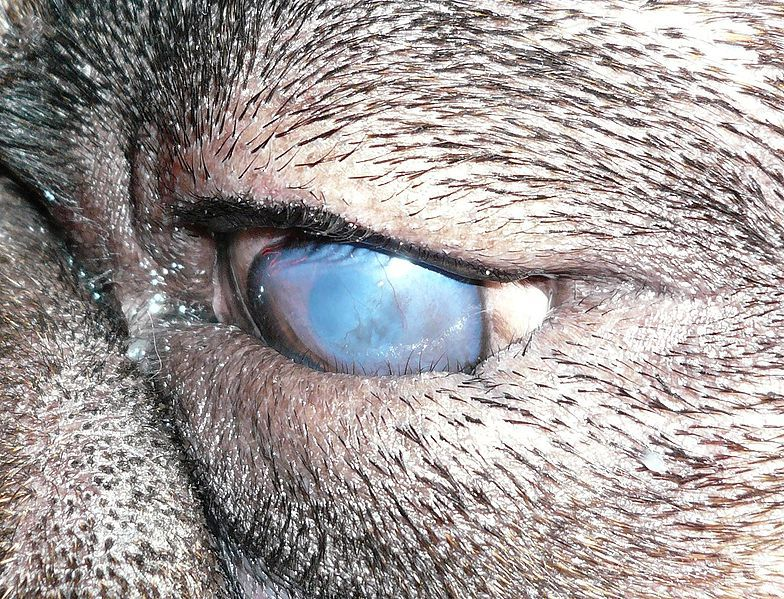 A dog with entropion of the lower eyelid. Scarring of the cornea has occurred in this case.