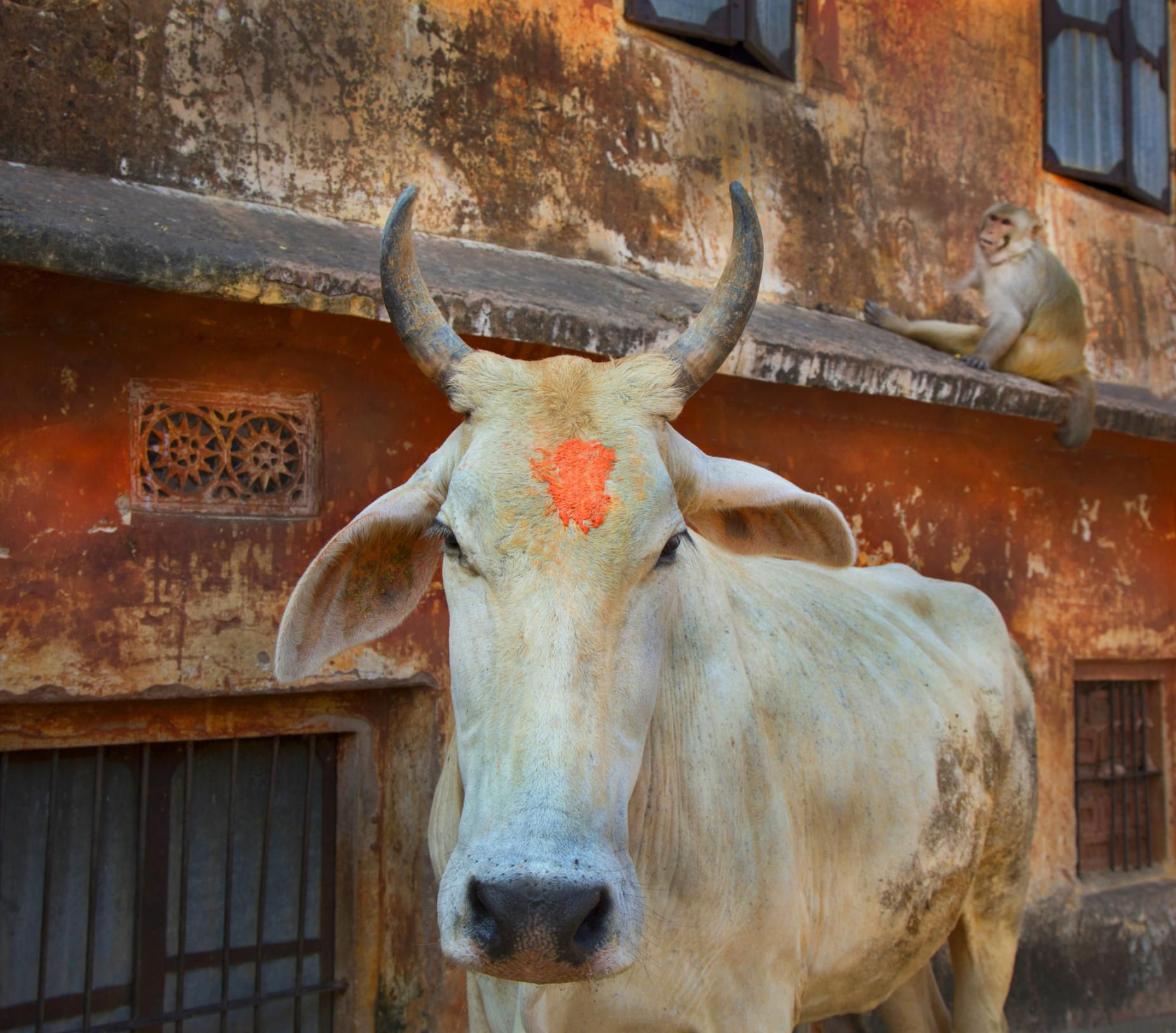 humorous essay on cow Some students lack confidence when it comes to writing a how-to essay but this list will inspire you to find a topic that you you know well.