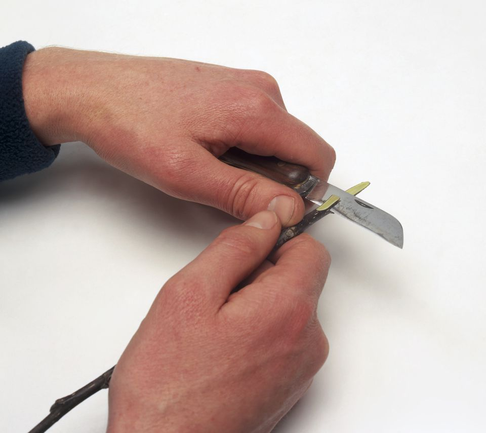 Using penknife to cut scion graft